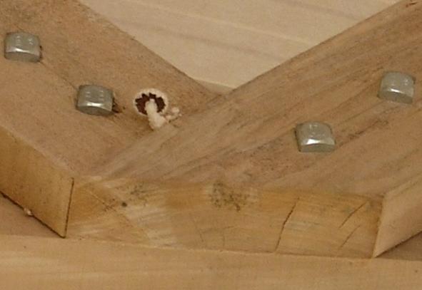 Le petit champignon né sur le peuplier