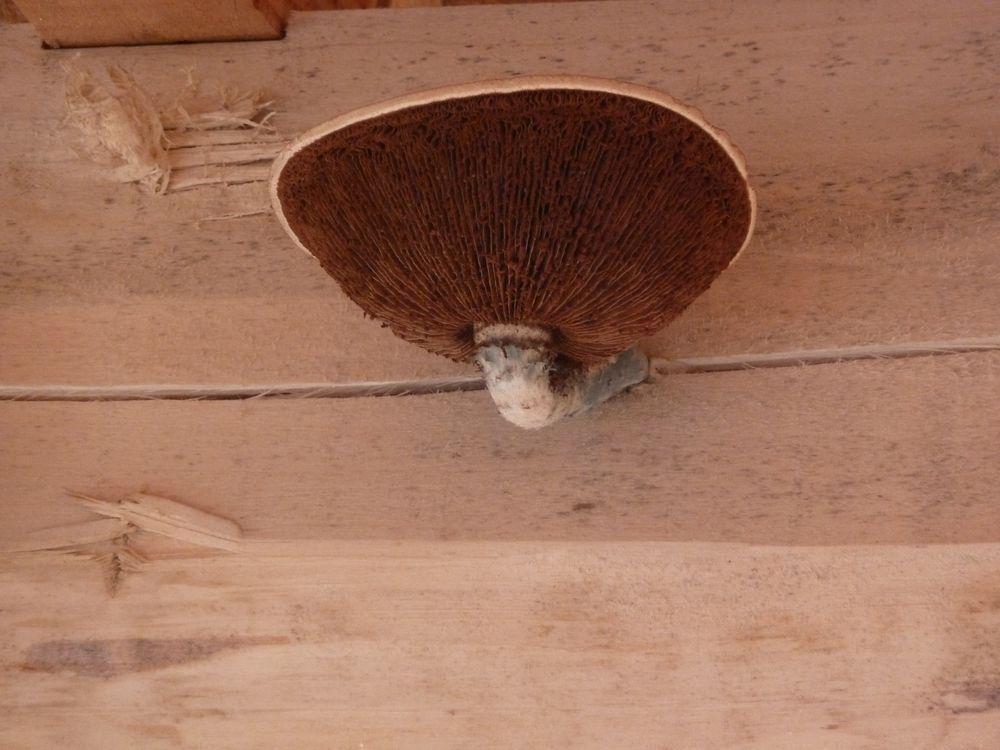 Un magnifique champignon né sur une panne peuplier, qui disparaîtra au séchage